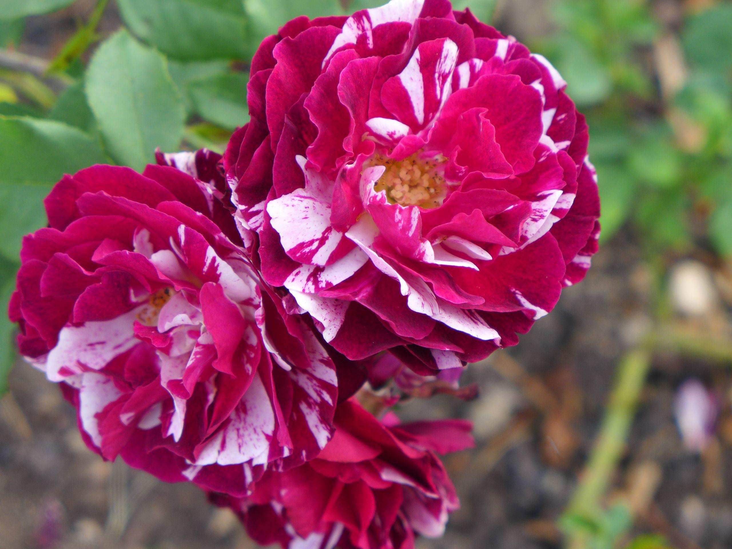 Roses bicolores;Lyon;Parfum;rose;OlfaGones;OlfaPhily